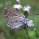 Grass Blue