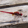 Red-veined Darter Dragonfly