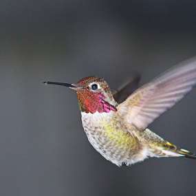 Hummer in Flight by Sherri Woodbridge - Animals Birds ( wings, hummingbird, birds, in flight, hummer, , bird, fly, flight )