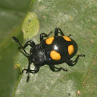 Yellow-spotted Fungus Beetle