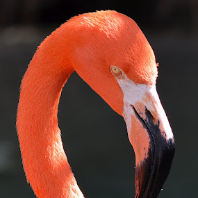 Flamingo  by Milton Moreno - Animals Birds ( object, yellow, landscape, spring, birds, chicken, safari, pink flamingo, africa, pigeon, orange, animals, colors, green, peahen, feathers, portrait, humming bird, bird, blue, color, outdoors, filter forge, crane, salt wter crocodile bottled nose dolphin animals pets friends beautiful wow amazing, springtime, peacock,  )