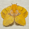 Lappet Moth, female