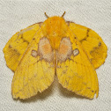 Lappet Moth, female
