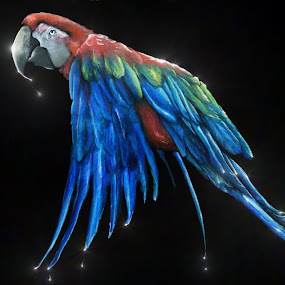 Midnight Macaw by Alicia McNally - Illustration Animals ( bird, flying bird, parrot, macaw )