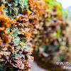 Hairy Curtain Crust Fungus