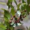 Fetterbush Lyonia