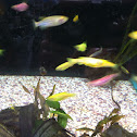 Glofish (genetically modified Zebra Danios)