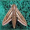 Silver-striped Hawk Moth