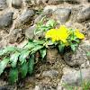 Yellow Bell, Golden Trumpet, Buttercup Flower