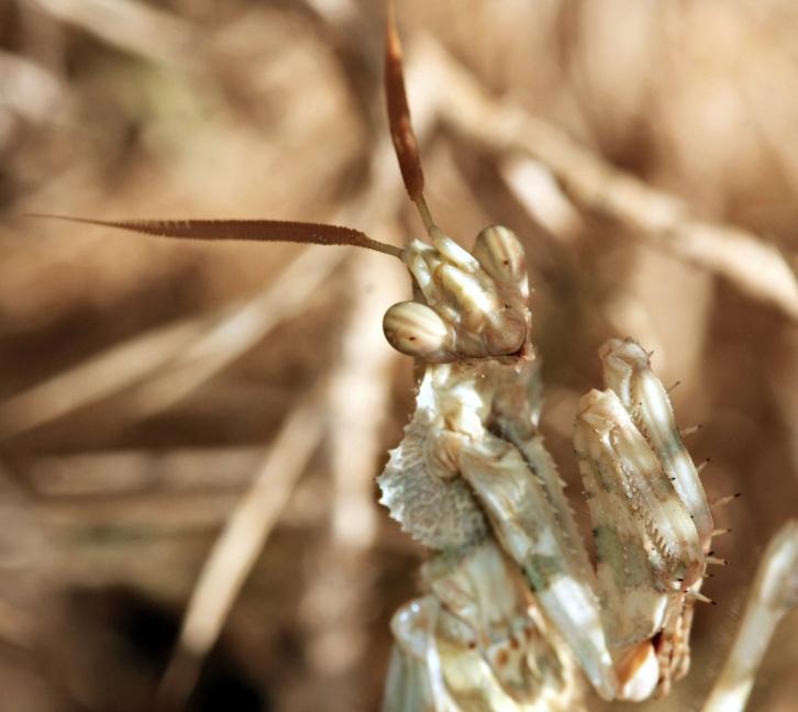 Egyptian Flower Mantis (male)