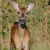 White Tailed Deer-Doe