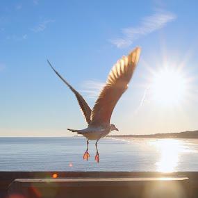 Seagull In Flight by Michael Morton - Animals Birds ( bird, flight, inspiring, blue sky, beach, coastal,  )