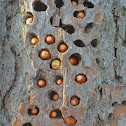 Acorns stored by the Redheaded Woodpecker