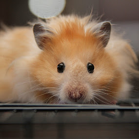 hamster face by Chrysta Rae - Animals Other Mammals ( mice, mouse, teddy bear hamster, pet, rodent, hamster, gerbil, animal, small animal )