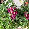Ivy-Leaved Geranium, Cascading Geranium