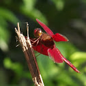 Fulvous Foret Skimmer