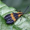 Banded netwinged beetle