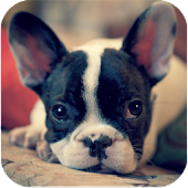 French Bulldog Breed HD Images