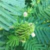 Illinois bundle flower