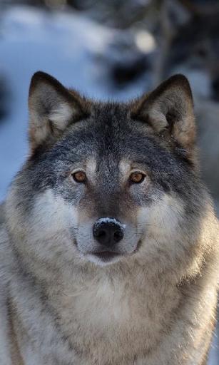 늑대는 배경 화면 라이브