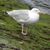 British Herring Gull adults