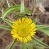Jewel beetle or Metalic Wood boring Beetle