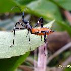 Percevejo do maracujazeiro, imaturo (Passion fruits leaf-footed bug,immature)