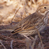 Lark Bunting (female)