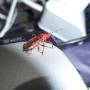 Red Indian Assasin Bug