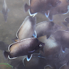Pez mariposa pascuence / Easter Island butterflyfish