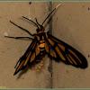 Amata Wasp Moth (Female)