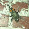Flesh Fly (Mutated)
