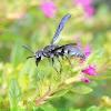 black_Wasp (Vespidae)