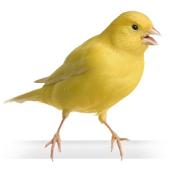 Canary Bird Training
