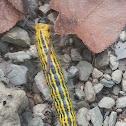 Drexel's Datana Moth Caterpillar