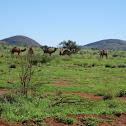 Australian Feral Camel