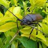 Giant African Longhorn beetle