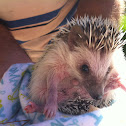 (Male) Hedgehog