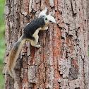 Finlayson's squirrel