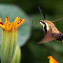 Hummingbird Clearwing Sphinx Moth