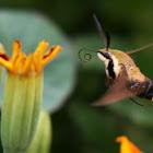 Hummingbird Clearwing Sphinx Moth