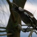Australian Magpie, juvenile