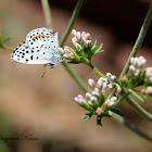 Buckwheat Blue Butterfly