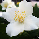 Sweet mock-orange, English dogwood