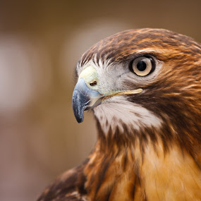 Red Tail Hawk Portrait  by Jay Huron - Animals Birds ( bird, animals, red tail, tennessee, red tail hawk, hawk,  )