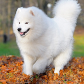 Samoyed Live Wallpaper