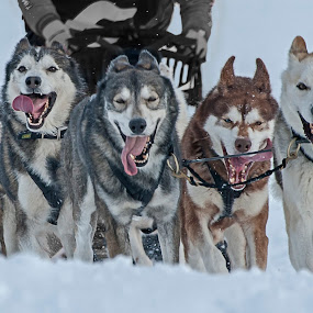 Winning spirit by Massimo Mazzasogni - Sports & Fitness Snow Sports ( snow, massimo mazzasogni, sled, dog, race )