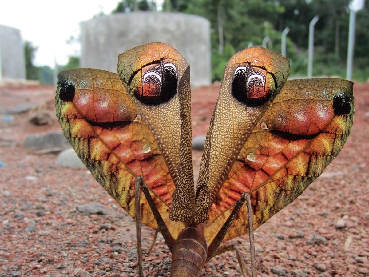 Leaf-mimic (bush cricket) Katydid