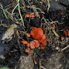 red cup fungus