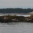 Atlantic Harbor Seal